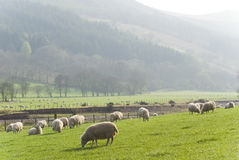 健康绵羊和家畜,田园诗农村,英国 免版税库存照片