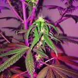 健忘阴霾大麻开花 库存照片