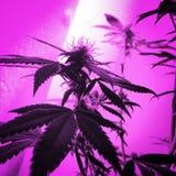 健忘阴霾大麻开花 库存图片