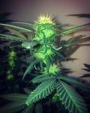 健忘阴霾开花的大麻 免版税库存照片