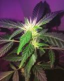 健忘阴霾开花的大麻 免版税库存图片