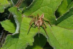 健神露苗圃pisaura蜘蛛网 库存照片