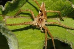 健神露苗圃pisaura蜘蛛网 免版税库存照片