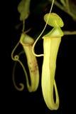 健神露通配猪笼草的对 图库摄影