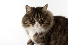 健美的猫 免版税库存图片