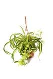 健美的chlorophytum comosum 免版税库存图片