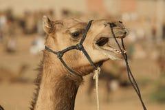 健谈的骆驼 免版税库存照片