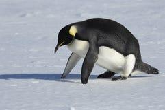 健身企鹅 库存照片