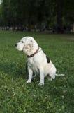 偷偷地走在城市公园的小猎犬 图库摄影