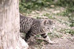 偷偷地走在树后的镶边灰色猫本质上在绿色森林里 免版税库存照片