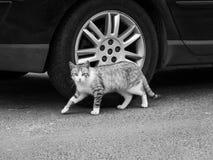 偷偷地走的猫 免版税图库摄影