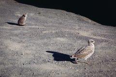 偷偷靠近一只大鸟的小猫 免版税库存照片