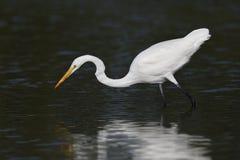 偷偷靠近一条鱼的伟大的白鹭在一个浅盐水湖- Pinellas计数 免版税库存图片