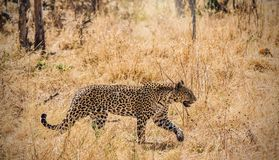 偷偷靠近与充分的集中和焦点的豹子 免版税库存图片