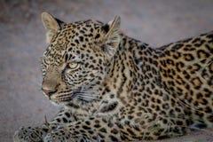 偷偷靠近他的姐妹的幼小豹子 免版税图库摄影