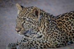 偷偷靠近他的姐妹的幼小豹子 免版税库存照片