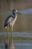 偷偷靠近其牺牲者的伟大蓝色的苍鹭的巢 免版税库存照片