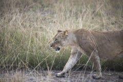 偷偷靠近在草的雌狮在伊丽莎白女王国家公园, Ug 免版税库存照片