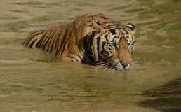 偷偷靠近在水中的孟加拉老虎 库存图片