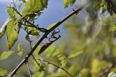 偷偷靠近它的在分支中的螳螂牺牲者 库存照片