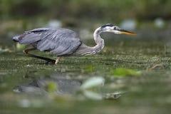 偷偷靠近它的牺牲者的伟大蓝色的苍鹭的巢在一条浅河 库存图片