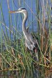 偷偷靠近它的牺牲者的伟大蓝色的苍鹭的巢在佛罗里达沼泽 免版税库存照片