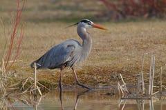 偷偷靠近它的牺牲者的伟大蓝色的苍鹭的巢在池塘的边缘 免版税库存图片