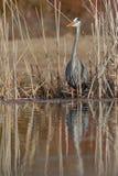 偷偷靠近它的牺牲者的伟大蓝色的苍鹭的巢在池塘的边缘 库存图片