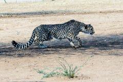 偷偷靠近它的牺牲者的猎豹 免版税图库摄影