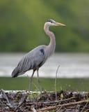 偷偷靠近它的从海狸水坝的伟大蓝色的苍鹭的巢牺牲者 免版税库存照片