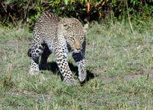 偷偷靠近汤姆Wurl的豹子 免版税库存照片