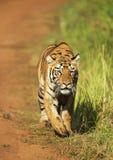偷偷靠近的母老虎,特利亚姐妹,Tadoba,马哈拉施特拉,印度 免版税库存照片