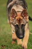 偷偷靠近的狗 免版税库存图片