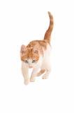 偷偷靠近的狩猎小猫 库存照片