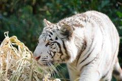 偷偷靠近的老虎白色 免版税库存照片