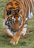 偷偷靠近的老虎 免版税库存图片