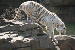 偷偷靠近的老虎 免版税图库摄影