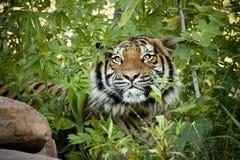 偷偷靠近的马来亚老虎同辈通过分支 免版税库存照片