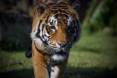偷偷靠近的sumatran老虎 免版税库存照片