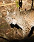 偷偷靠近通过森林的野生动物美洲野猫 免版税库存图片