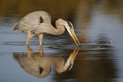 偷偷靠近鱼- Estero海岛,佛罗里达的伟大蓝色的苍鹭的巢 库存照片