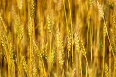 偷偷靠近麦子 免版税库存图片
