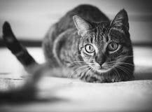 偷偷靠近他的羽毛玩具的猫 免版税库存照片