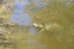 偷看乌龟 免版税库存照片