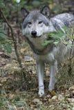 偷看从如毛刷树木繁茂区的北美灰狼 免版税库存照片