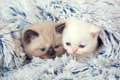 偷看从毯子下面的两只小猫 免版税库存图片