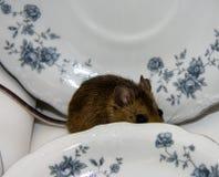偷看从盘的后面一只棕色家鼠 免版税库存照片