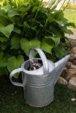 偷看在一把喷壶外面的小浣熊 免版税库存图片