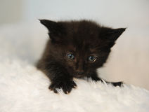 偷看在一把白色蓬松椅子外面的小的黑小猫 球圣诞节查出的心情三白色 免版税图库摄影