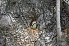 偷看在凹陷外面的啄木鸟小鸡 免版税库存图片